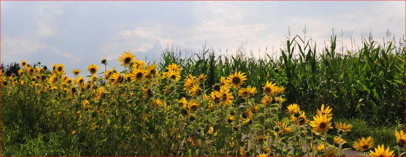 Sonnenblumenfeld neu