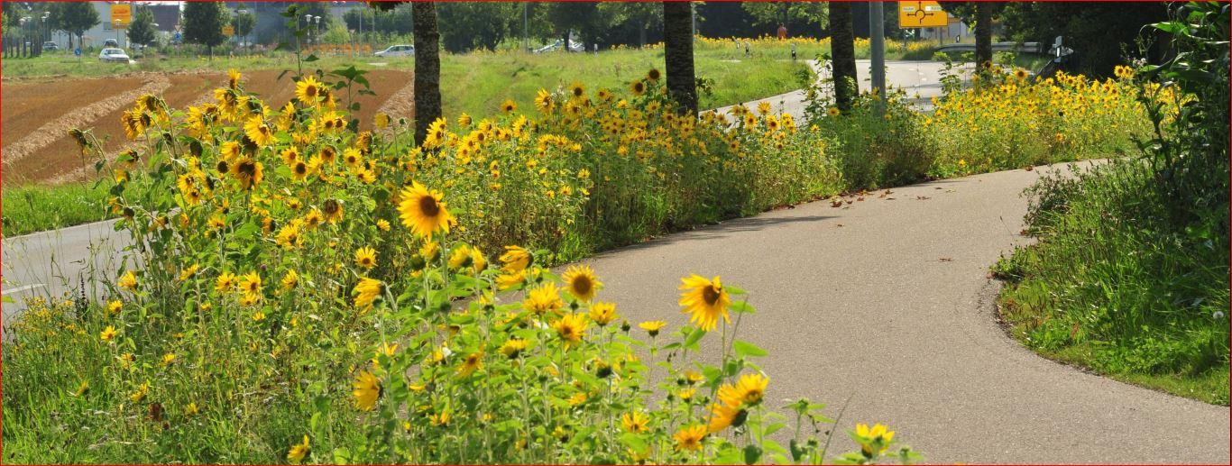 Sonnenblumen neu